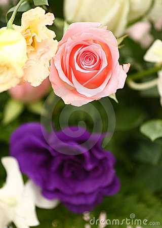 Free Pink Rose(click Image To Zoom) Royalty Free Stock Photo - 11004635