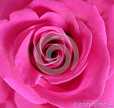 Free Pink Rose Close Up Stock Photo - 11901610
