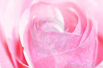 Pink rose closup