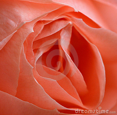Pink Rose Detail Stock Photo