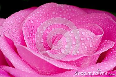 Pink rose drops