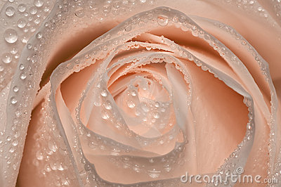 Pink rose with drops of water