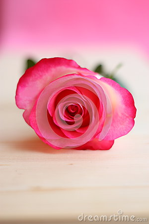 Pink Rose Flower Picture - Stock Photos