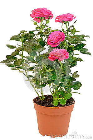 Pink rose in the flower pot stock image image 28993541 - Planter des roses tremieres ...