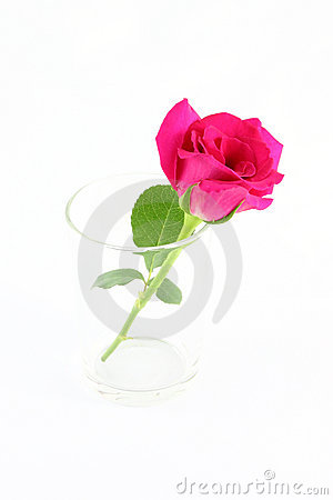 Pink rose in glass
