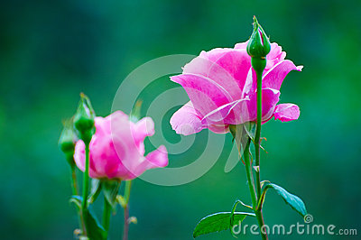 The pink rose