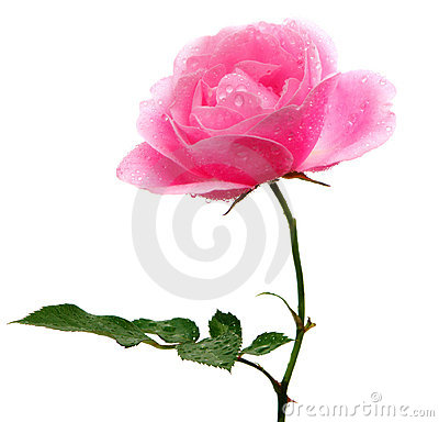 Free Pink Rose Isolated On White Stock Image - 12172501