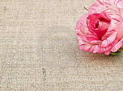 Pink rose on linen background