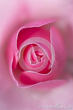 Pink rose macro, Rosa caninae