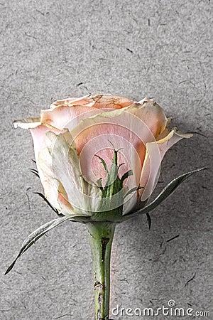 Pink rose on old paper