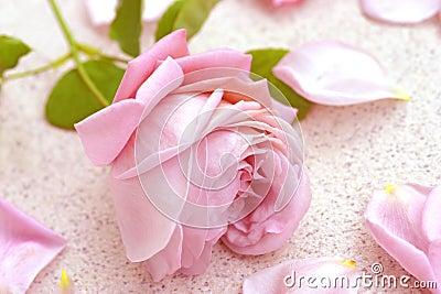 Pink rose over petals