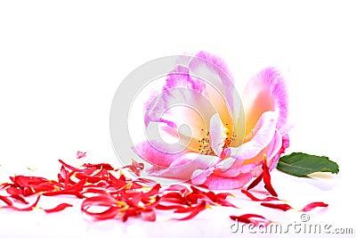 Pink rose and petals