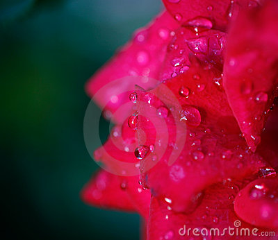 Pink rose petals with drops