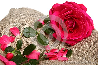 Pink rose with petals on linen fabric