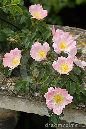 Pink rose scrambling on wall