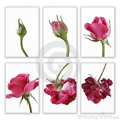 Pink rose in sequence