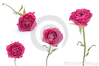 Pink rose set isolated