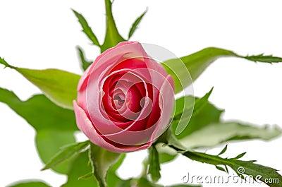 Pink rose top view