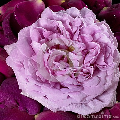 Pink rose and violet petals