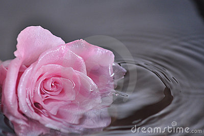 Pink rose in the water