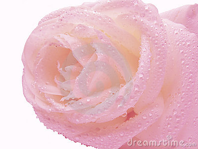 Pink rose in water drops