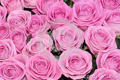 Pink roses background of my floral backgrounds