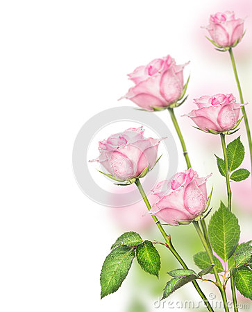 Free Pink Roses Bunch On White Background Royalty Free Stock Image - 48190366