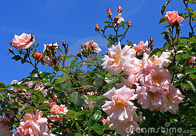 Pink roses in a garden against a blue sky