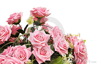 Pink roses isolated on the white background