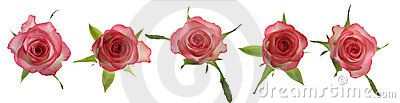 Pink roses, linear arrangement