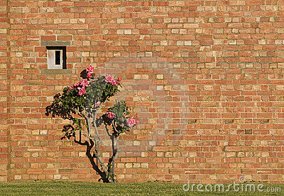 Pink roses and red brick wall