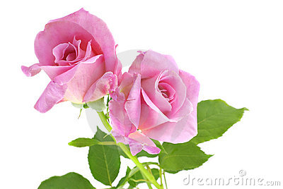 Pink Roses White Background