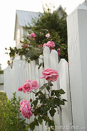 Pink Roses And White Picket Fence Stock Photos Image