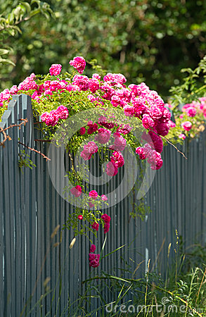 Pink roses on the wooden fence