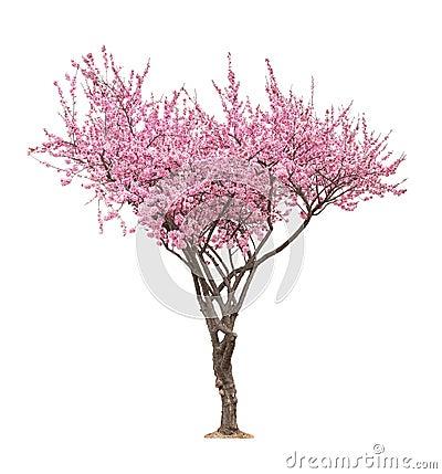 Free Pink Sacura Tree Royalty Free Stock Photography - 90979037