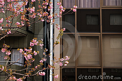Pink sakura cherry blossom flowers in Tokyo