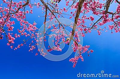 Pink sakura on road