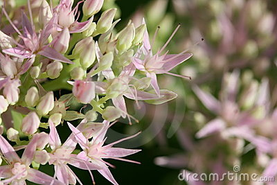 Pink Sedum in Bloom