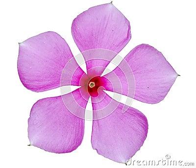 Pink Single Flower Stock Photos Image 11084373