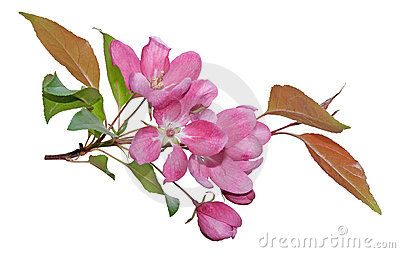 Pink spring blossom isolated on white