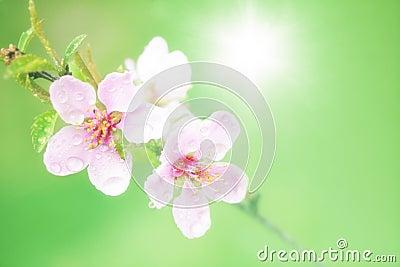 Pink spring blossom sun