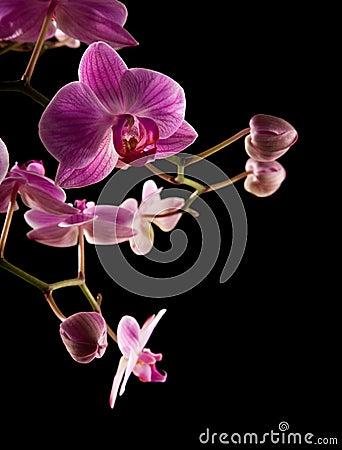 Pink stripy backlit phalaenopsis orchid