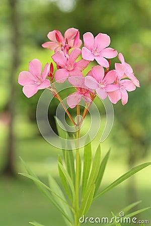 Pink Sweet Oleander flower