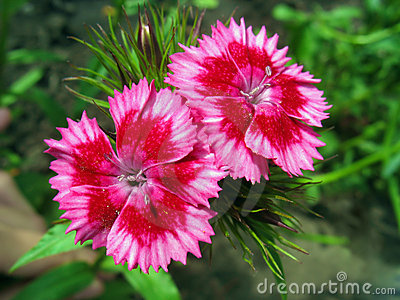 Pink sweet william