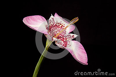 Pink tigridia flower