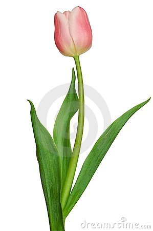 Free Pink Tulip Royalty Free Stock Images - 1190399