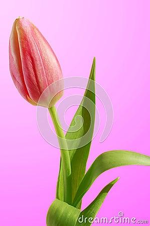Free Pink Tulip Stock Image - 13406451