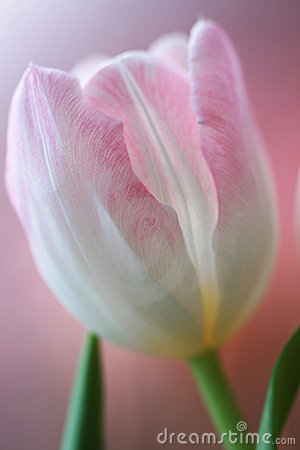 Free Pink Tulip Royalty Free Stock Photography - 13428447