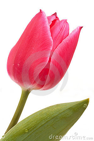 Free Pink Tulip Stock Images - 751904