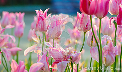 Pink tulip bloom in the spring Stock Photo